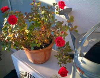 last_rose