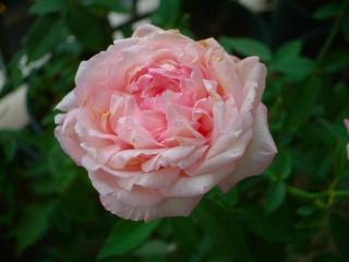 Old_rose_01