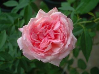 Old_rose_02_1