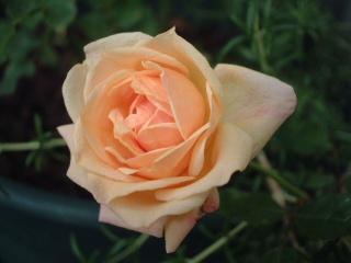 Perle_des_jardins