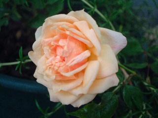Perle_des_jardins01