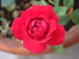 rose_005