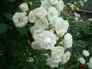 Rose_cafe16