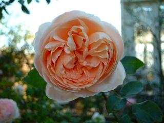 Rose_cafe_02_3