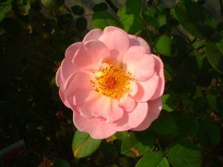 Rose_cafe_04_2