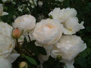 Rose_cafe_060