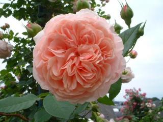 Rose_cafe_08