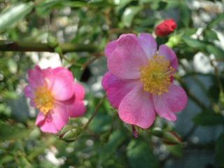 Rose_cafe_08_2