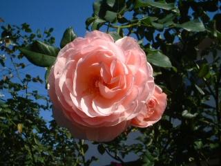Rose_cafe_09_2