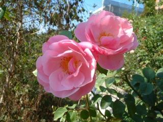 Rose_cafe_10