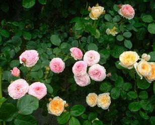 Rose_cafe_11_2