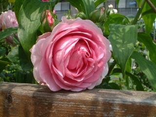 Rose_cafe_13