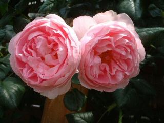 Rose_cafe_15