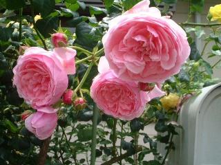 Rose_cafe_16