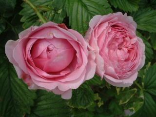 Rose_cafe_20