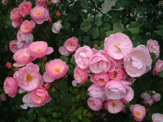 Rose_cafe_22