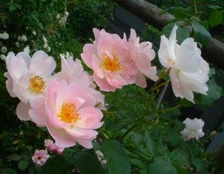 Rose_cafe_24_2