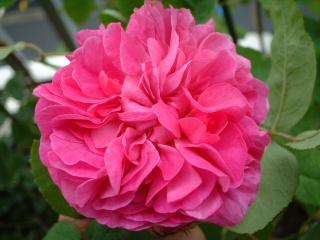 Rose_du_roi