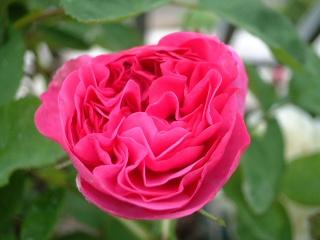 Rose_du_roi_01