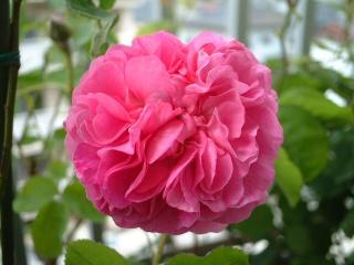 Rose_du_roi_03