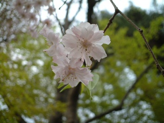 Sakuranoyousei