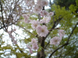 Sakuranoyousei_01