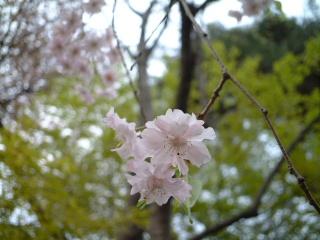Sakuranoyousei_03
