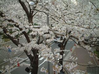 Sakurazaka_02