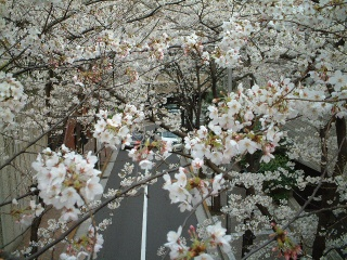 Sakurazaka_03_1
