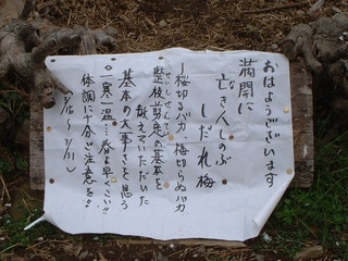 shidareume_02