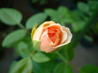 Summer_rose_01_1