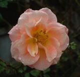 teienflowers_02