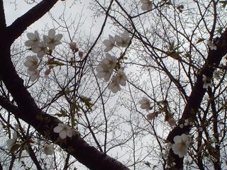 yamazakura_05
