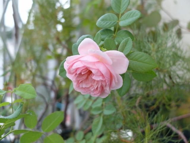 2009english-rose