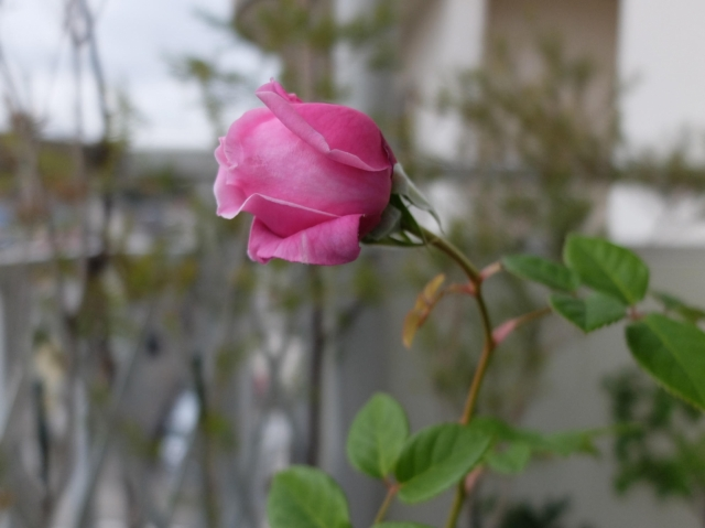 202012december-roses